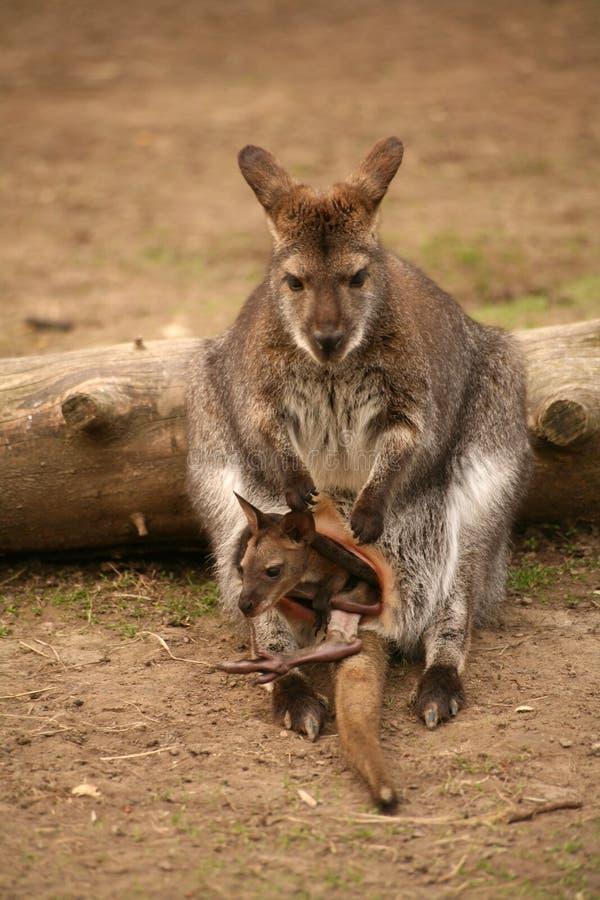 Canguro con el bebé fotografía de archivo