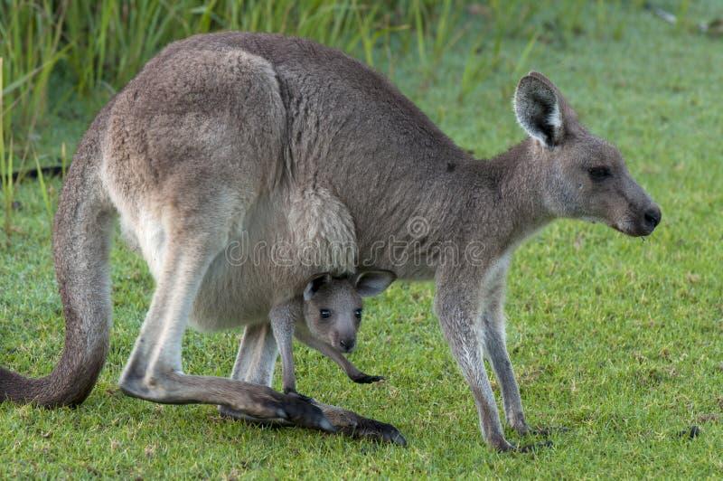 Canguro con il bambino Joey in sacchetto fotografia stock libera da diritti