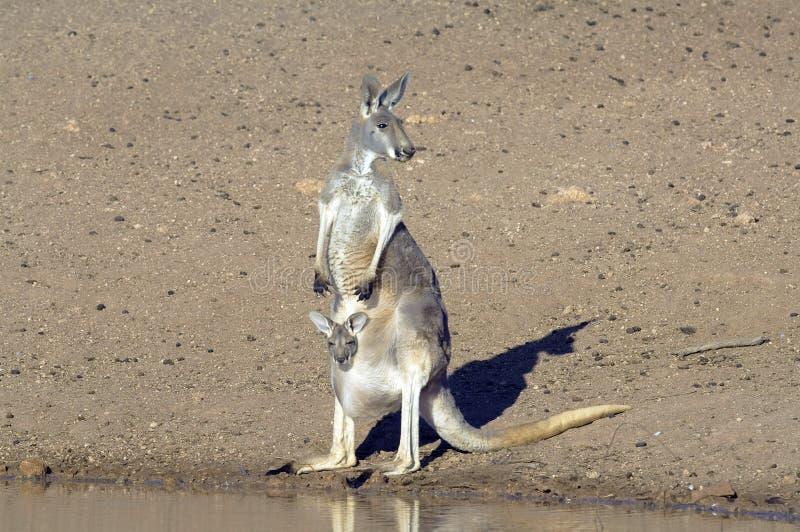 Canguro con joey en un waterhole imagen de archivo