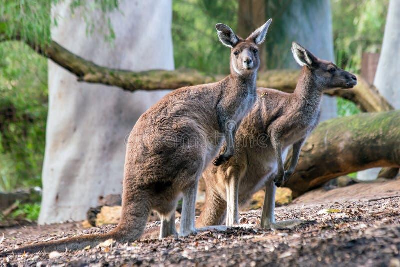 Canguro con sfondo naturale a Perth fotografia stock libera da diritti