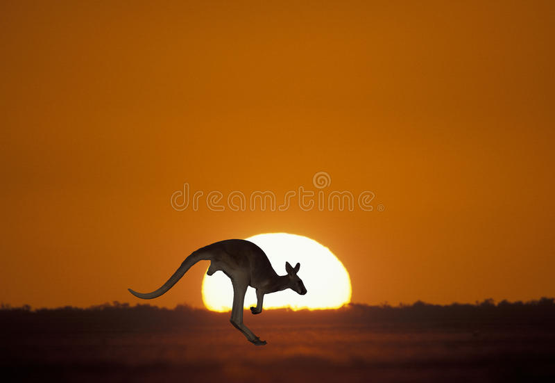 Canguro en la puesta del sol imagen de archivo libre de regalías