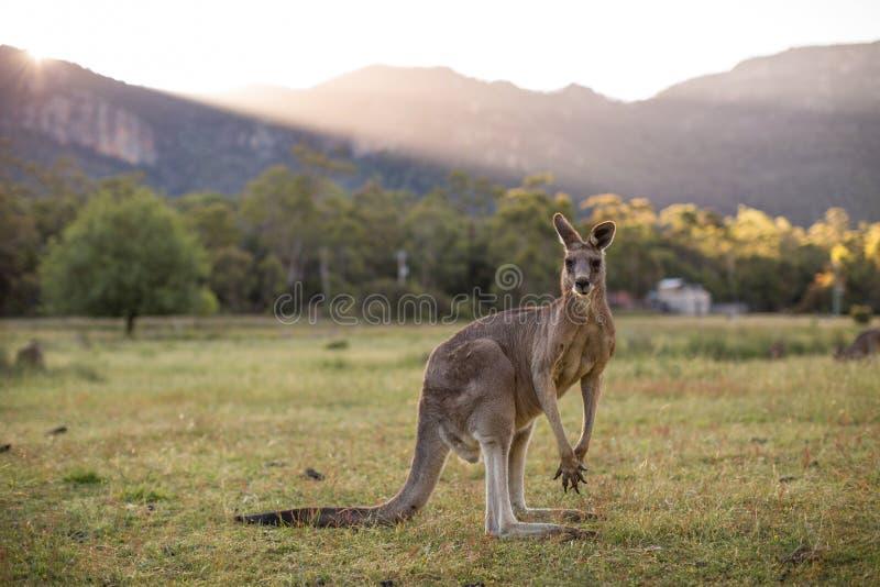 Canguro, Grampians, Victoria, Australia fotos de archivo libres de regalías