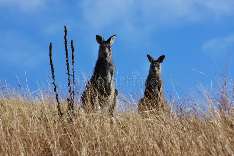 Canguro grigio australiano fotografia stock libera da diritti