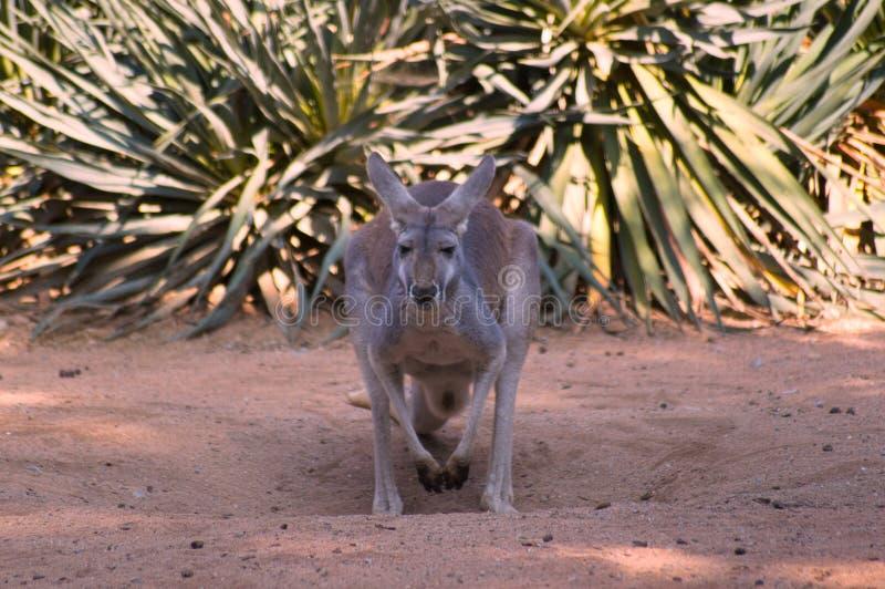 Canguro grigio nel selvaggio fotografia stock