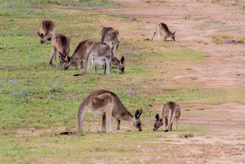 Canguro grigio orientale fotografia stock