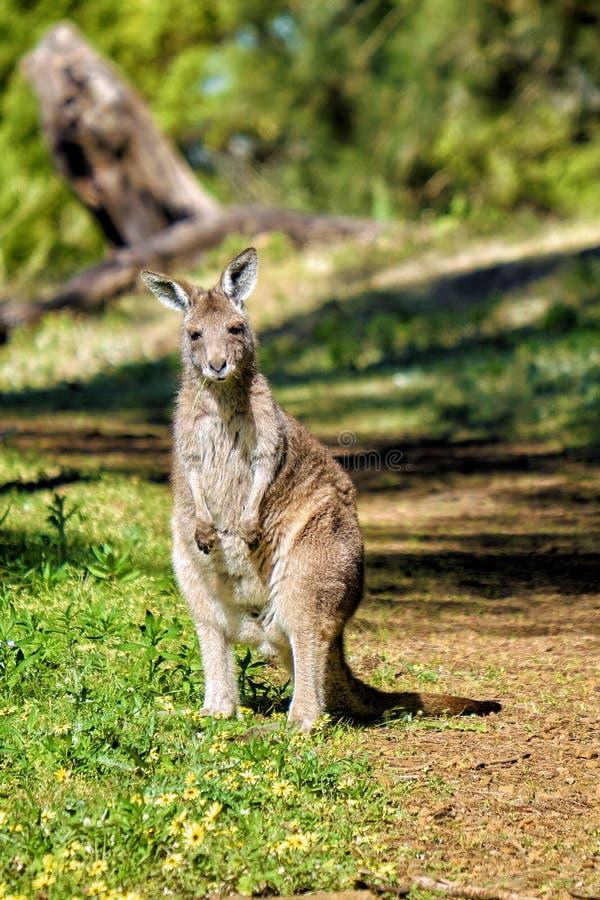 Canguro grigio orientale selvaggio australiano nello stato di Victoria, Australia fotografie stock