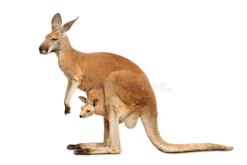 Canguro isolato con Joey sveglio fotografie stock libere da diritti