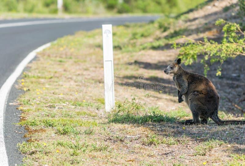 Canguro a lo largo del camino, bosque de Victoria - Australia fotografía de archivo