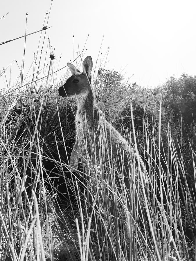 Canguro in Lucky Bay - Esperance fotografia stock libera da diritti