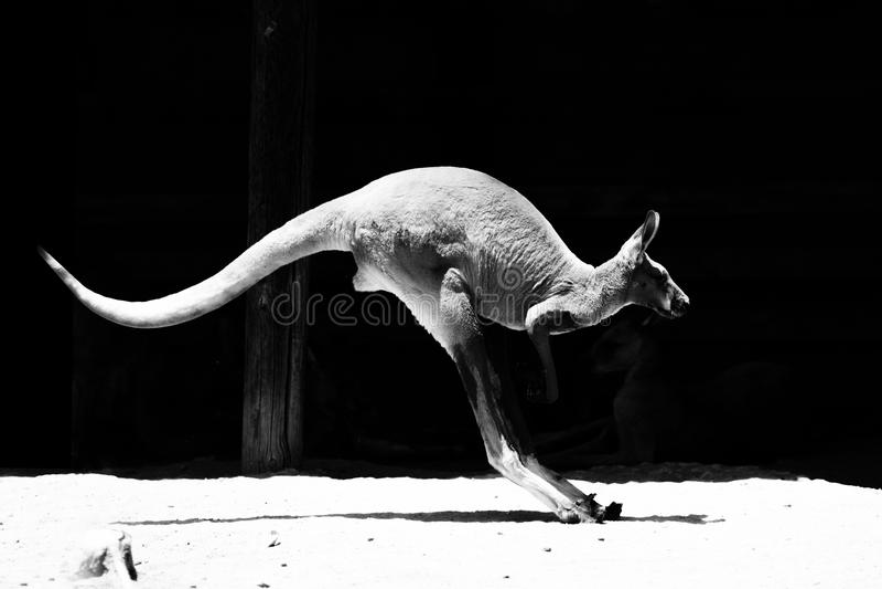 Canguro nel salto fotografia stock libera da diritti
