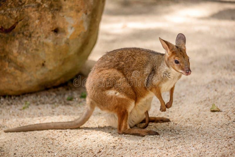 Canguro rojo salvaje en el parque zoológico en Queensland, Australia fotos de archivo