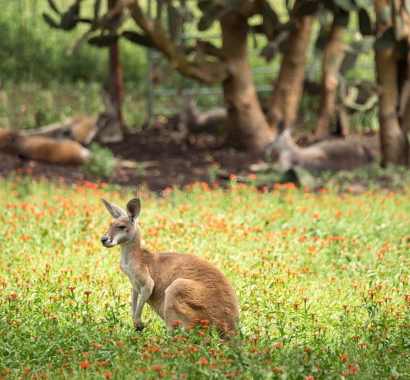 Canguro rosso nel campo con altri canguri nei precedenti immagine stock libera da diritti