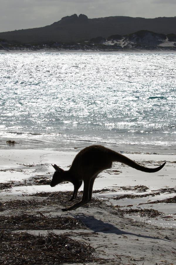 Canguro in siluetta a Lucky Bay fotografie stock