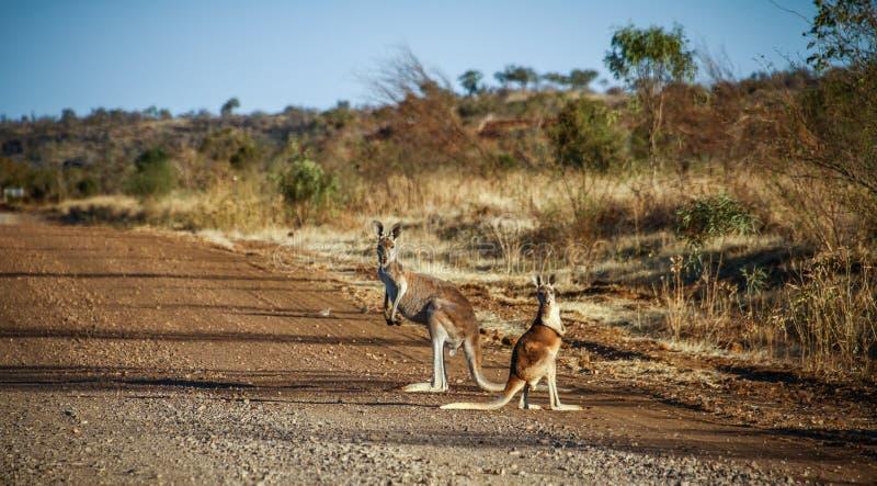 Canguro sorpreso sul modo della savana dopo Normanton, Queensland, Asutralia fotografie stock libere da diritti