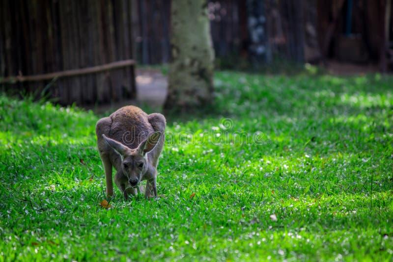 Canguro su erba verde immagini stock