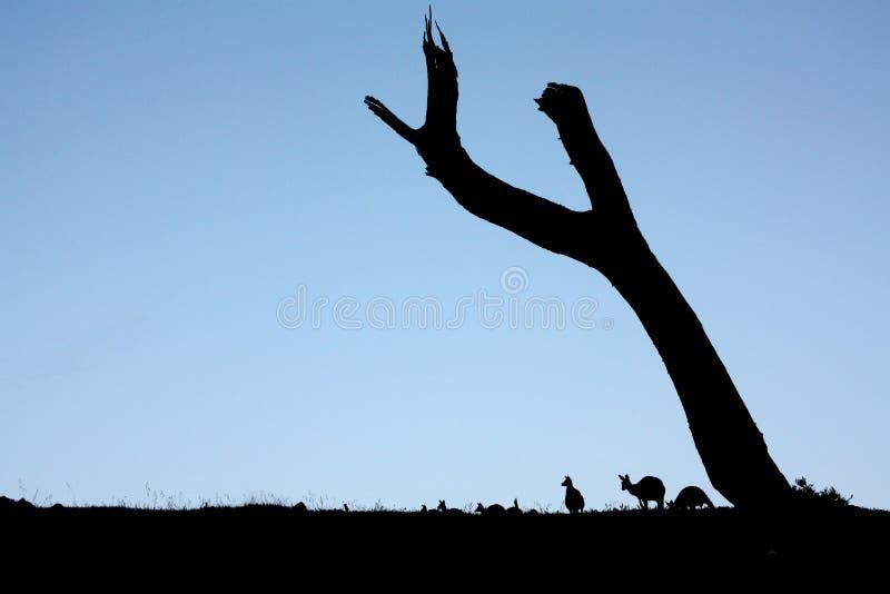 Canguros crepusculares fotos de archivo