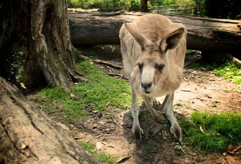 Canguru - ícone de Austrália fotos de stock royalty free