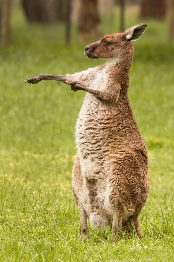 Canguru, Austrália foto de stock