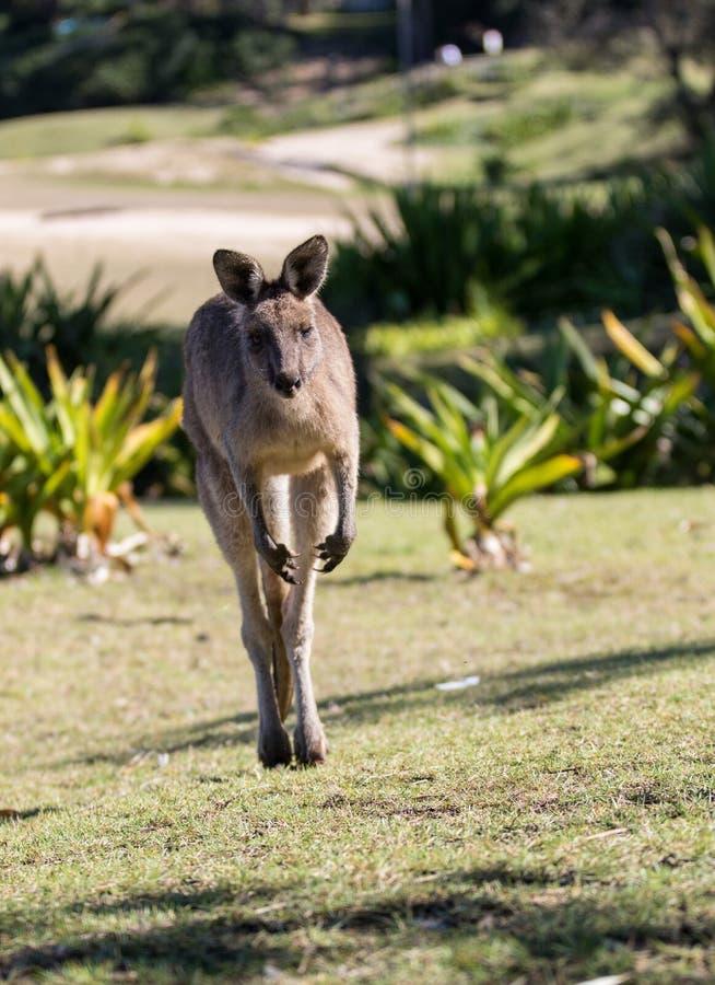 Canguru australiano ao saltar perto acima do retrato imagem de stock
