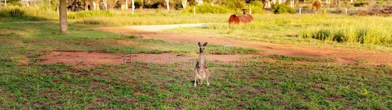 Canguru australiano bonito que olha a câmera fotografia de stock royalty free