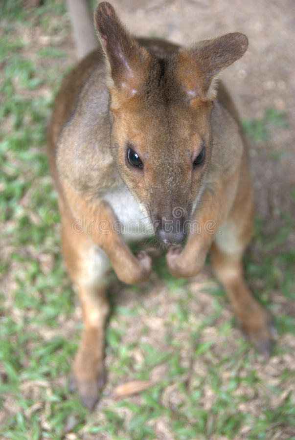 Canguru bonito do bebê foto de stock royalty free