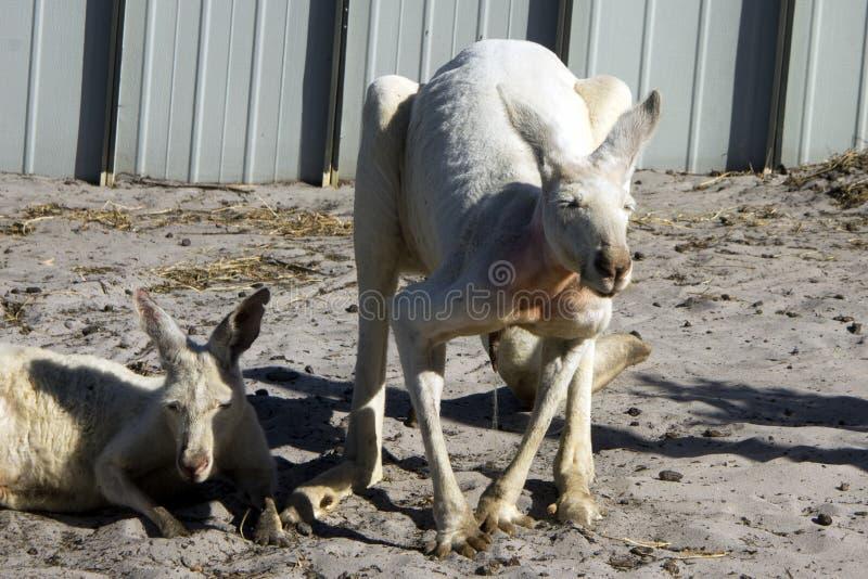 Canguru branco urinando, Albany, WA, Austrália imagem de stock