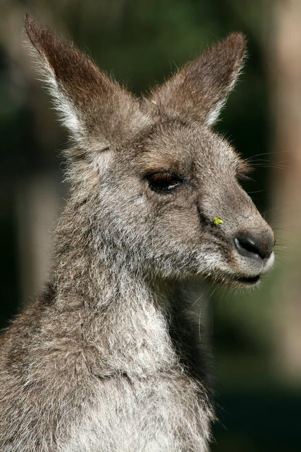 Canguru cinzento, Austrália imagem de stock