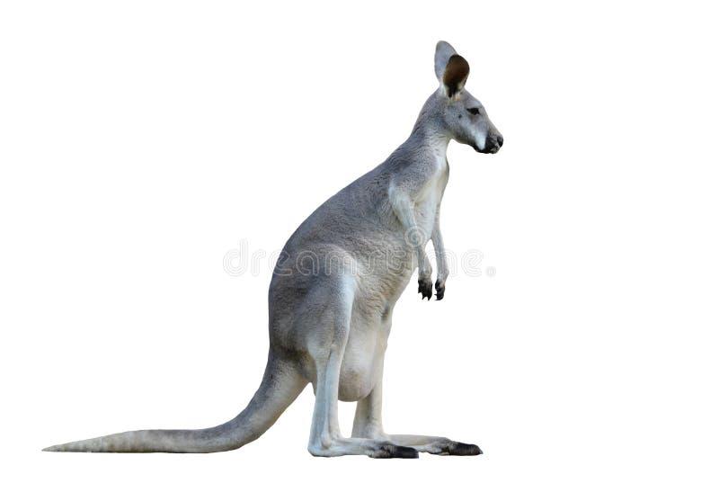 Canguru cinzento imagens de stock