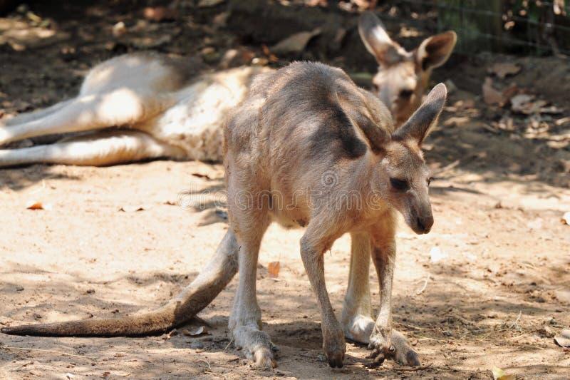 Canguru cinzento ocidental imagem de stock royalty free