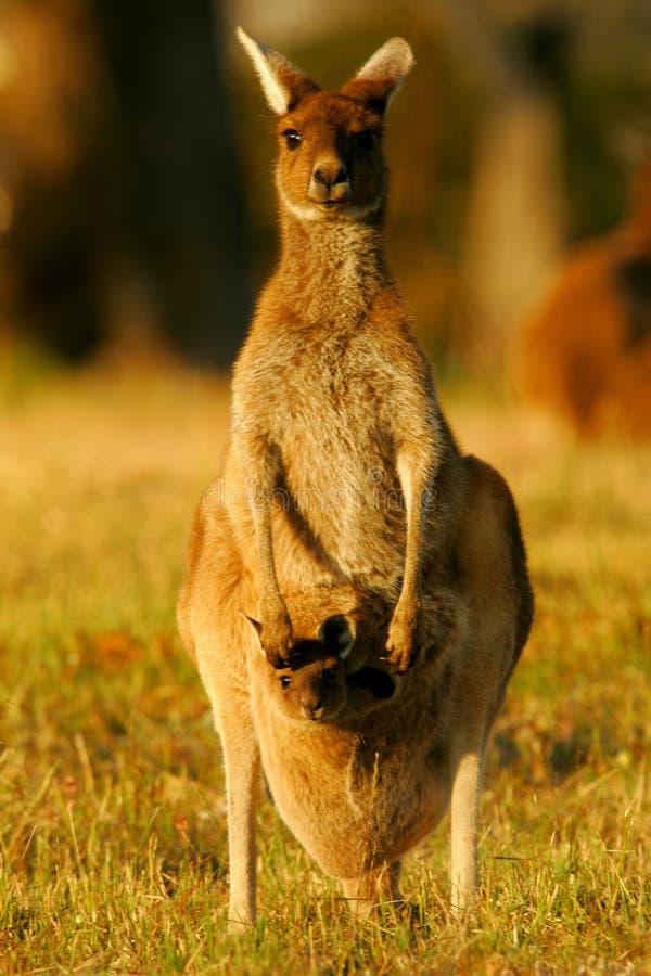 Canguru cinzento ocidental imagens de stock royalty free