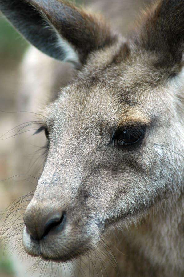 Canguru cinzento oriental fotografia de stock