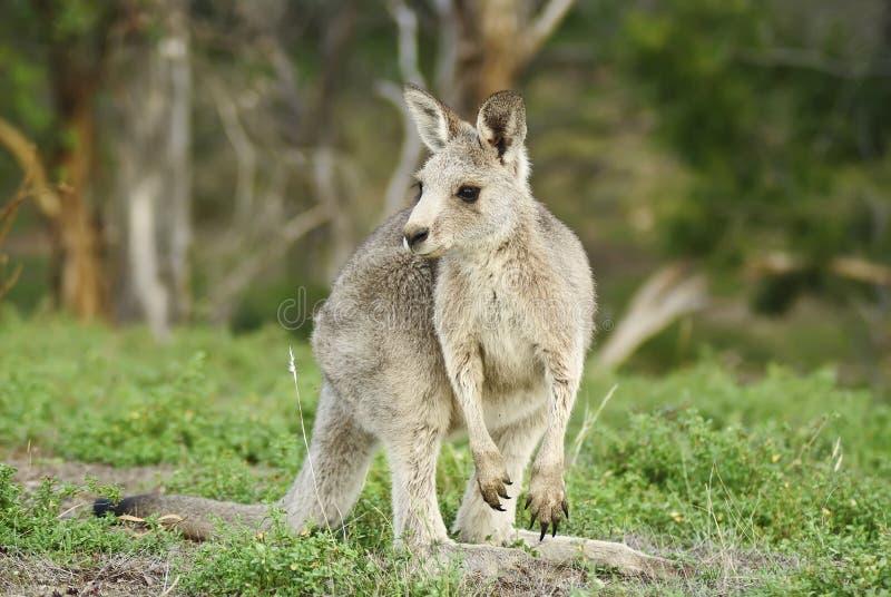 Canguru cinzento oriental imagem de stock