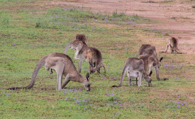 Canguru cinzento oriental fotos de stock