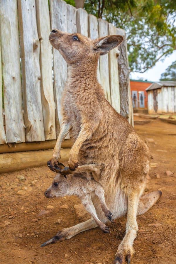 Canguru com bebê imagens de stock royalty free
