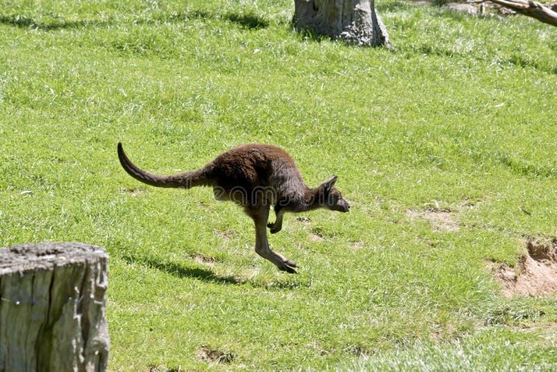 Canguru da Canguru-ilha imagens de stock