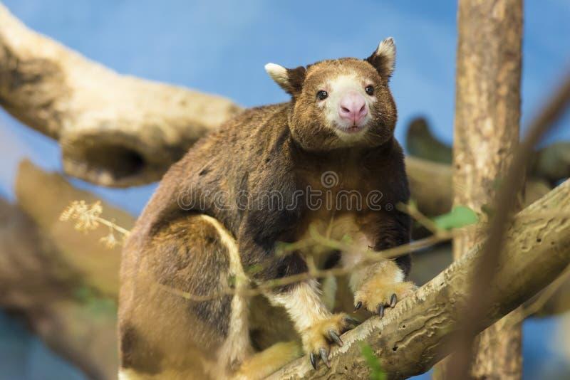 Canguru de árvore fotografia de stock royalty free