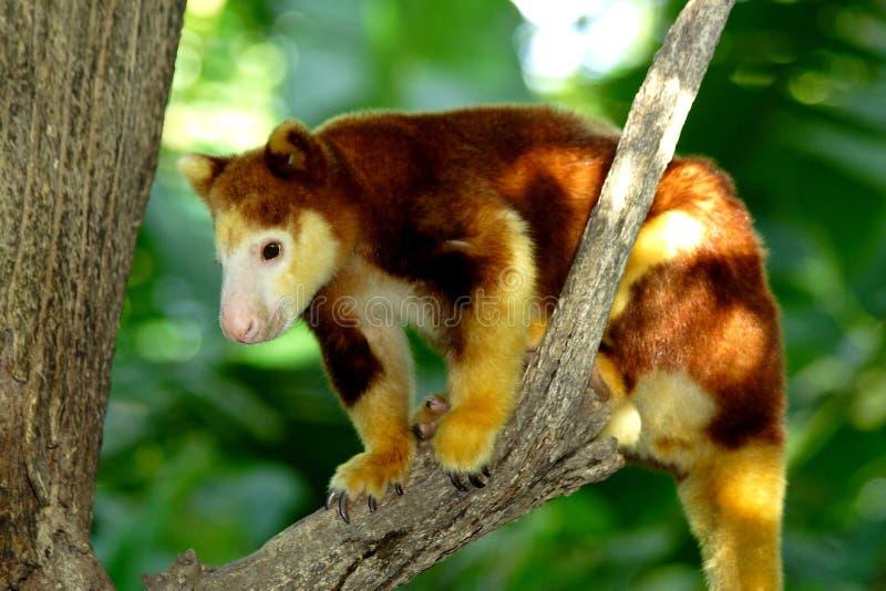Canguru de árvore que senta-se em um ramo de árvore, Papuásia-Nova Guiné fotografia de stock royalty free