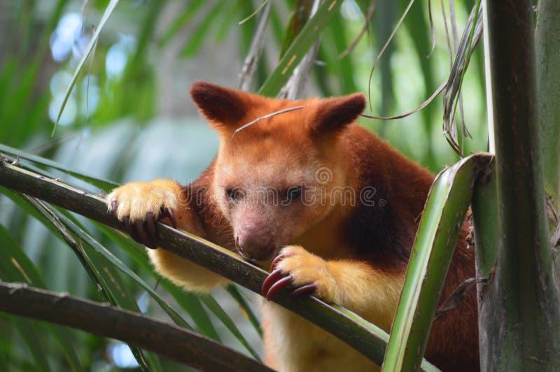 Canguru de árvore vermelho foto de stock royalty free