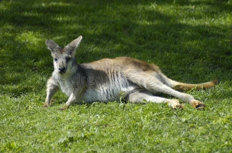Download Canguru de Lounging foto de stock. Imagem de marsupial, canguru - 52054