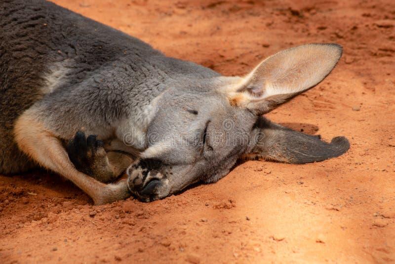 Canguru do sono foto de stock royalty free