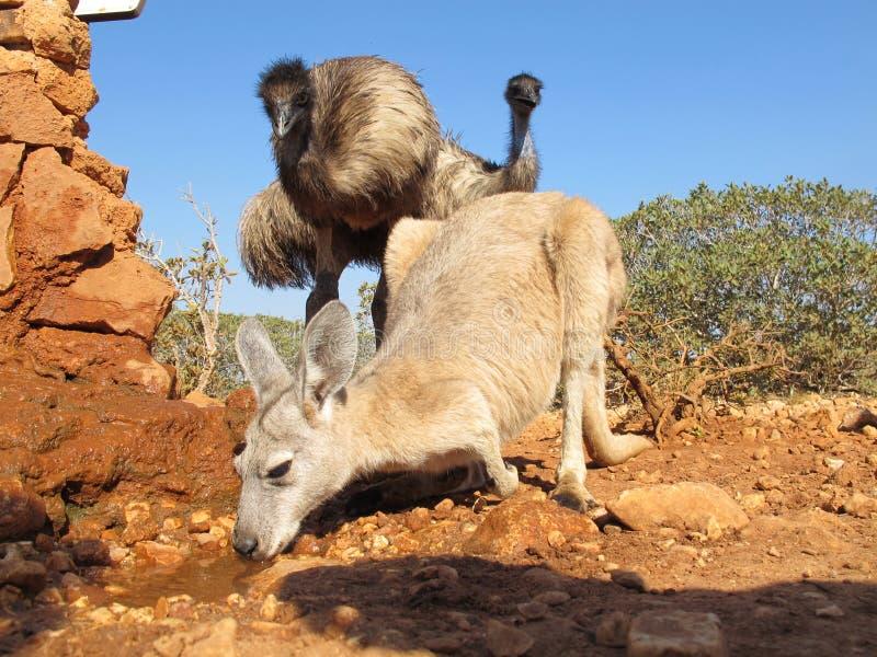 Canguru e ema, Austrália fotos de stock royalty free