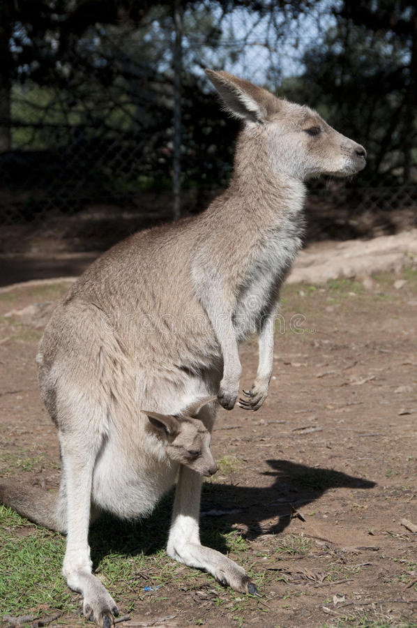 Canguru e Joey foto de stock royalty free