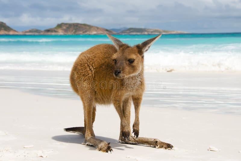 Canguru em Lucky Bay foto de stock royalty free