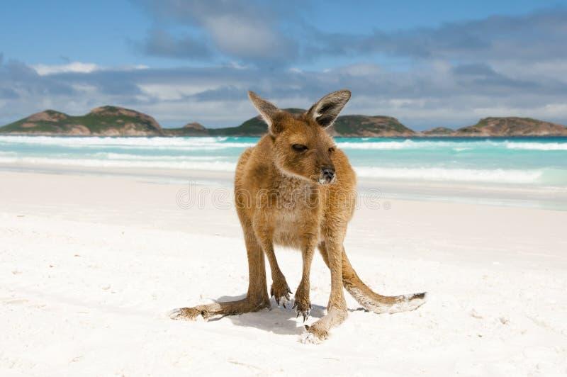 Canguru em Lucky Bay imagens de stock royalty free