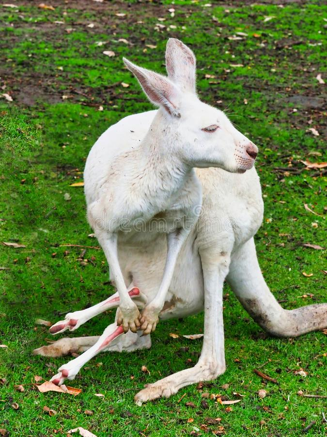 Canguru fêmea branco pequeno com bebê Joey, Austrália imagem de stock royalty free