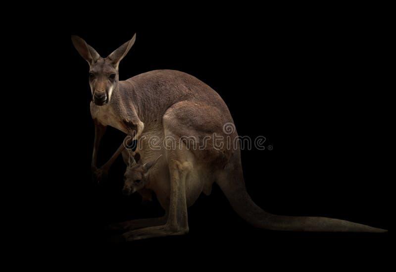 Canguru na obscuridade imagens de stock