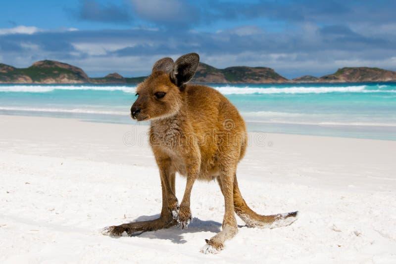 Canguru na praia branca da areia imagens de stock