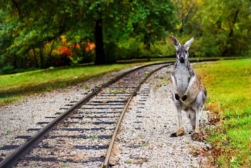Canguru nas cremalheiras da estrada de ferro imagens de stock