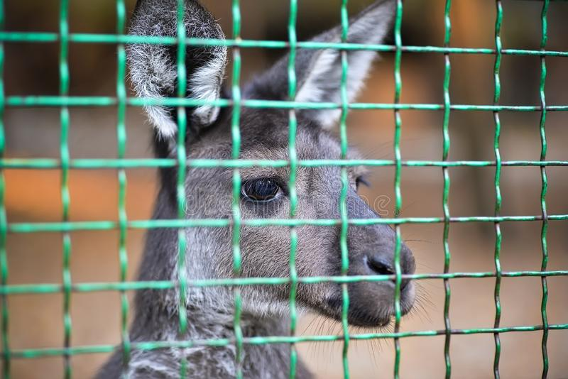 Canguru no jardim zoológico fotografia de stock royalty free