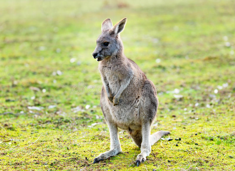 Canguru no selvagem imagens de stock royalty free